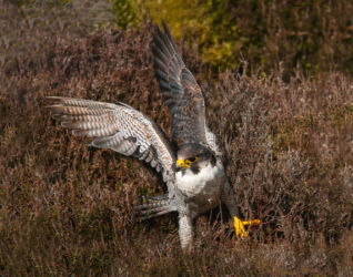 Highly Commended - Peregrine Falcon alighting - Val Burdis