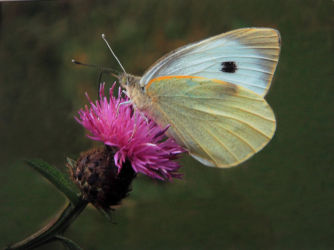 5th - Large White Butterfly on Thistle - Val Burdis